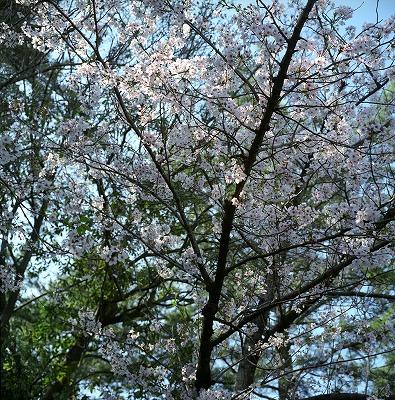 120408ritsurin-sakura.jpg