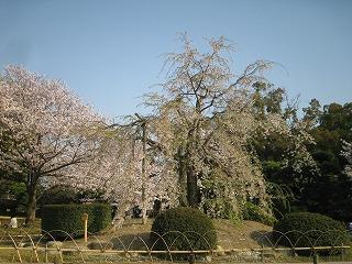 410 枝垂桜.jpg
