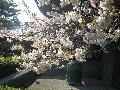 SYS桜.jpg